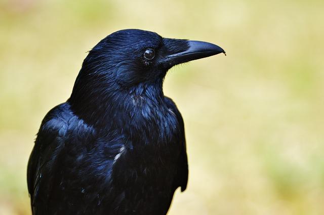 raven-1347374_640